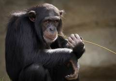 a chimpanzee eating straw