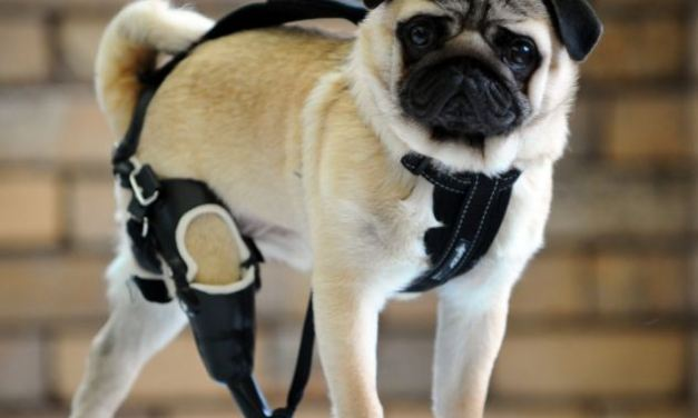 Dog who's learning to walk again after he was fitted with a prosthetic