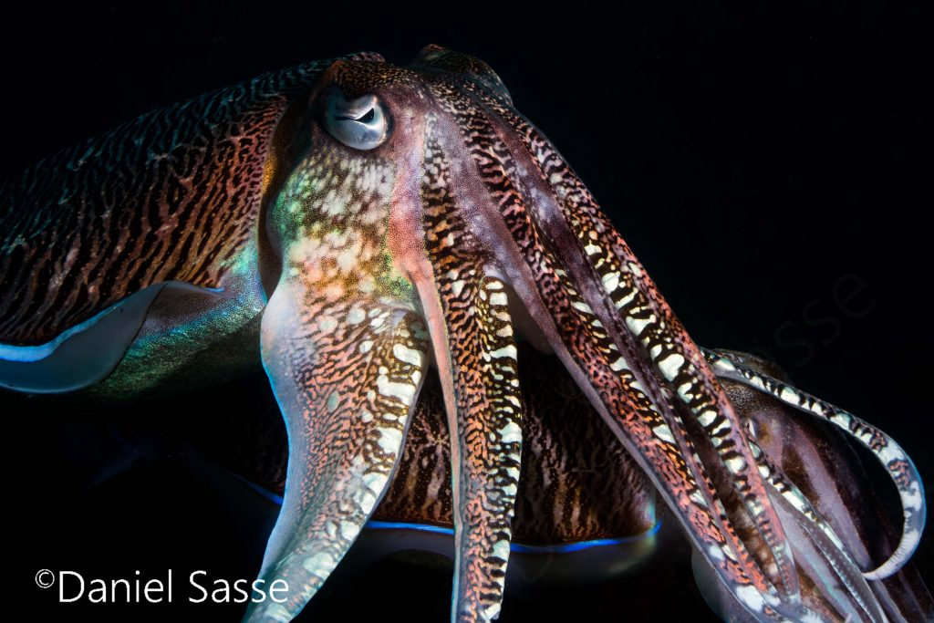 Pharao Cuttlefish Underwater Pictures by Daniel Sasse