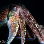 Pharao Cuttlefish