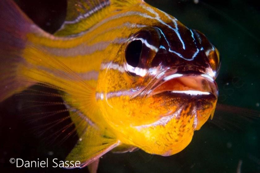 Yellowstriped Cardinal fish