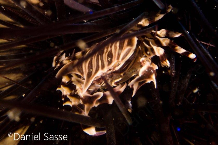 Zebra sea urchin crab