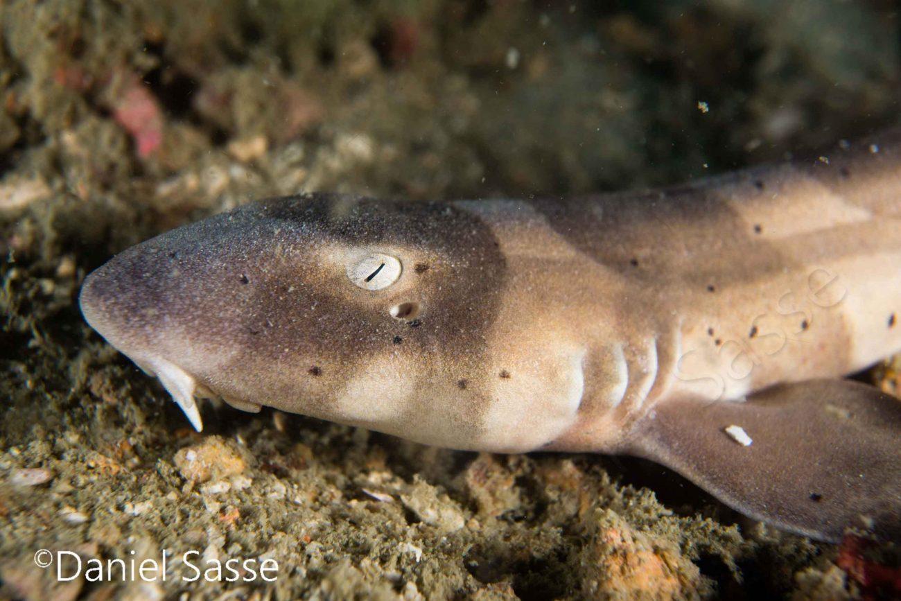 Brownbanded-Bamboo-shark-small Unterwasserbilder von Daniel Sasse