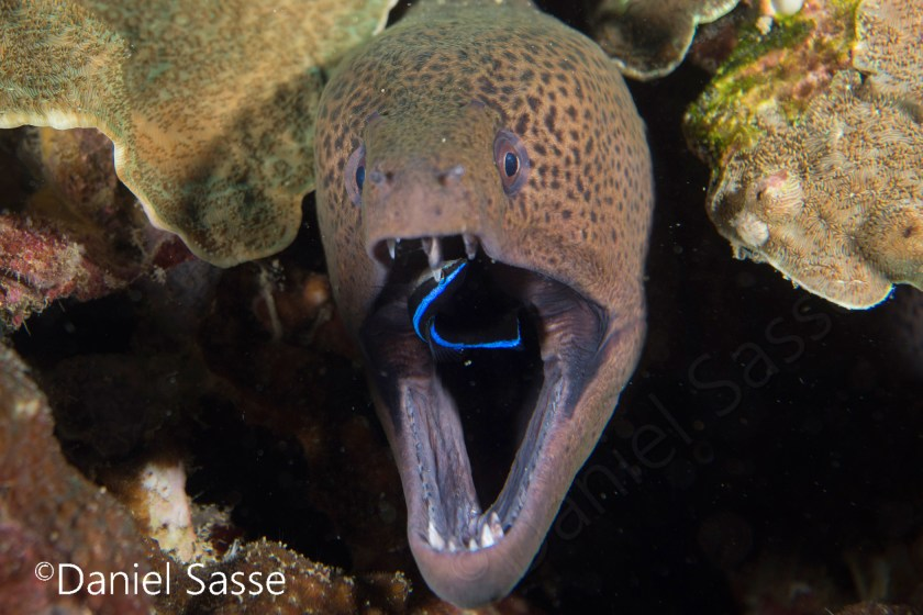 Moray with cleaner wrasse