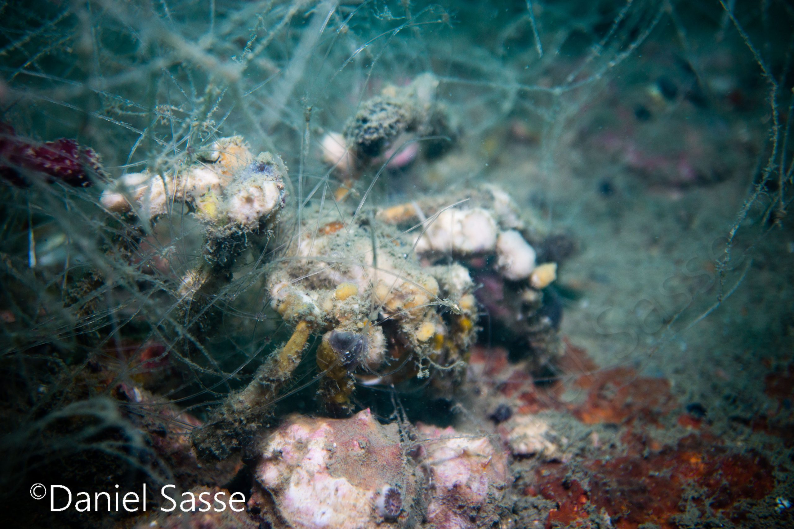 Entangled Decorator Crab