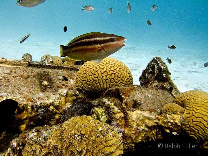 parrotfish species