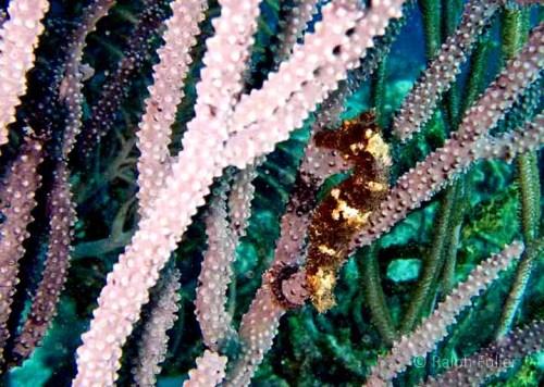 longsnout seahorse (Hippocampus reidi)