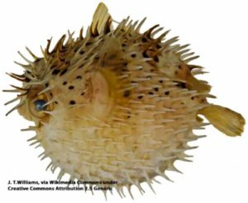 Inflated balloonfish