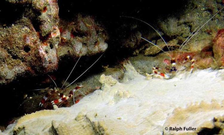 banded coral shrimps