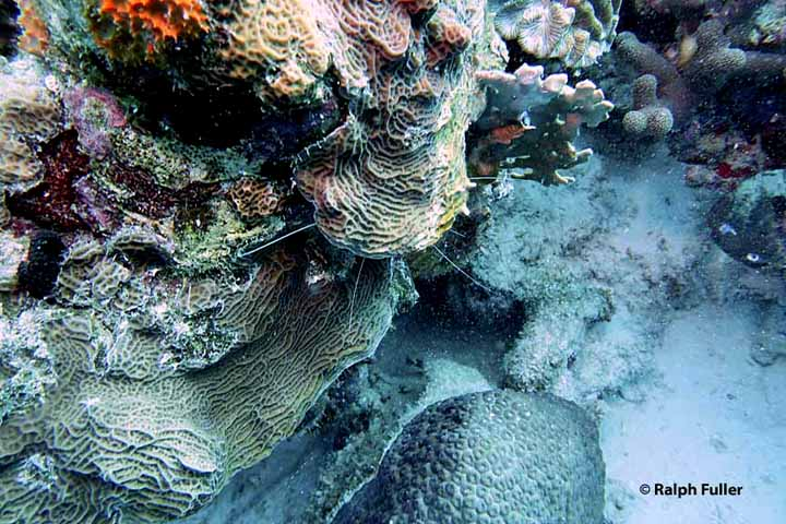banded coral shrimps hidden