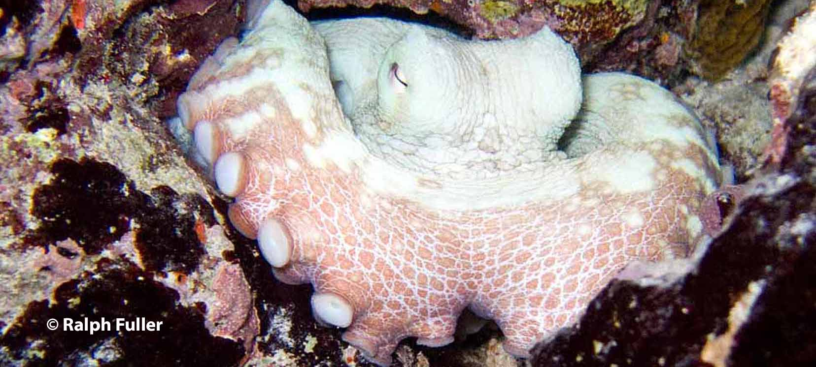 urban octopuses conservation challenges in a changing climate