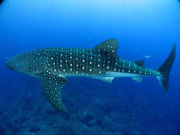 A study of whale shark age and size indicates they can live to 130 years.