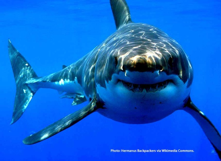 how sharks smell blood