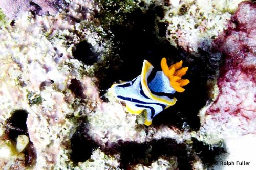 nudibranch facts