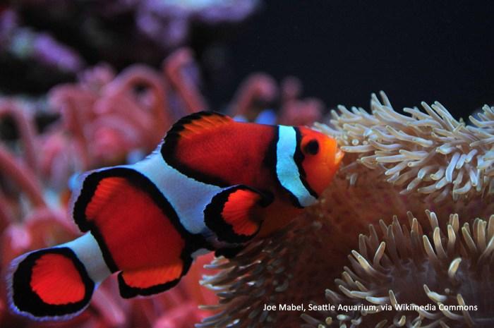 anemonefish facts
