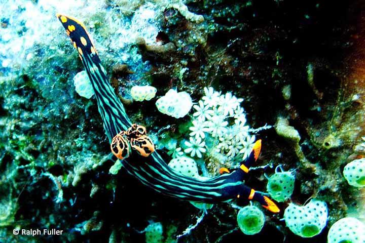 nudibranch colors