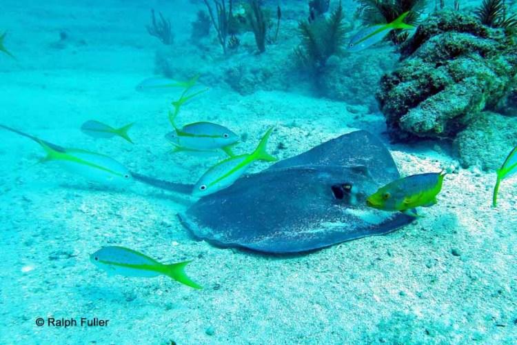 Chondrichthyes - A Southern stingray