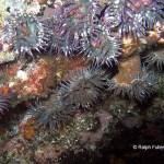 Galapagos sea anemones