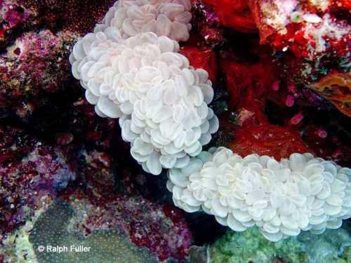bubble coral Plerogyra sinuosa