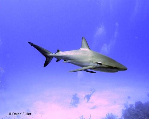 sharksucker remora Echeneis naucrates