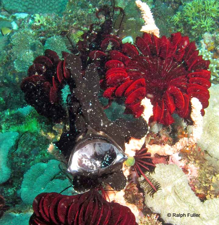 how fish feed - frogfish eating another fish