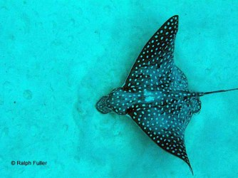 spotted eagle ray feeding on copepods