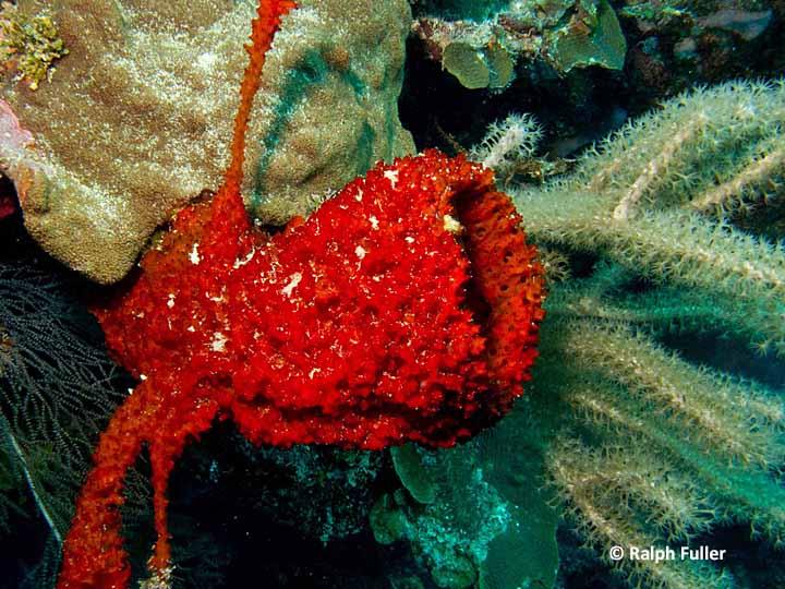 srawberry vase sponge