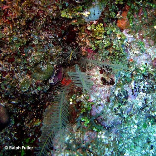 feather-star-facts