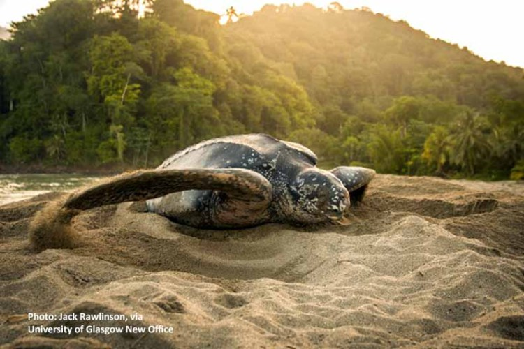 leatherback - decoy turtle nest