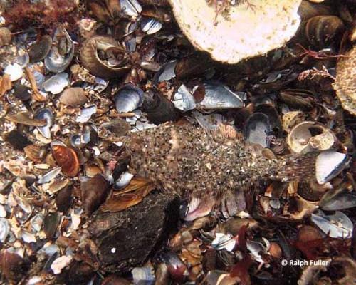 camouflaged juvenile flounder