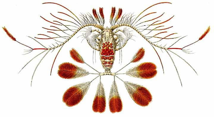 Drawing of a copepod, species unknown.