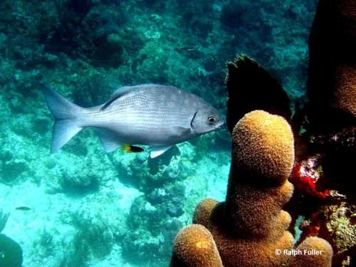 Juvenile Bermuda Chub