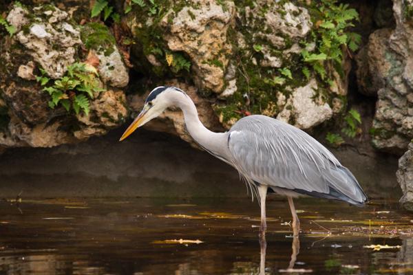 peche heron