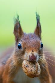 Squirrel with a nut