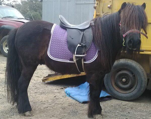 Mattes Small Square on Shetland Pony