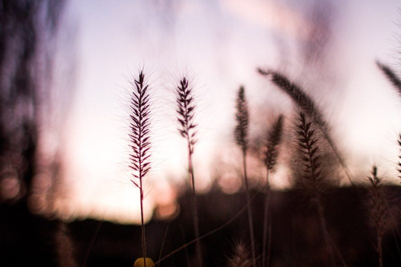 gehun aur gulaab – rambriksh benipuri