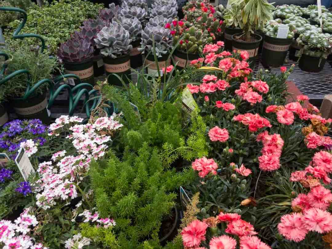 monrovia annual plants