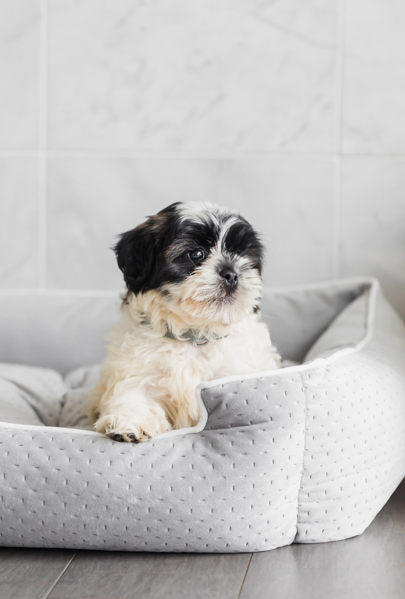 puppy_shihpoo_new