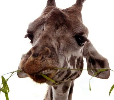 giraffe chewing leaf_flexivegetarian eating positively nourishing dietitian