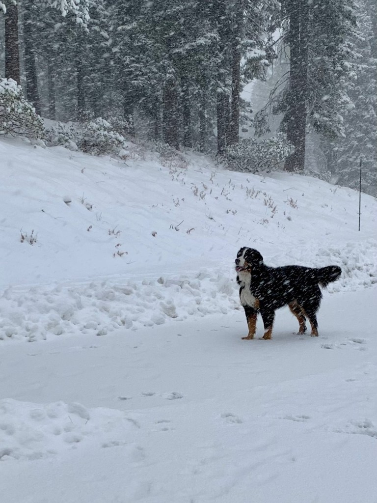 Dakota Bernese Mountain Dog