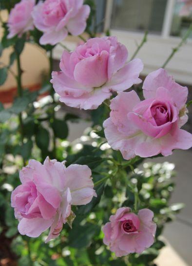 rose pruned