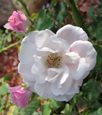 rose unpruned 2