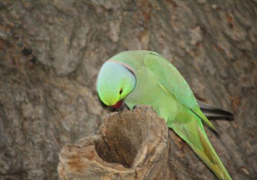 Parakeet Peering