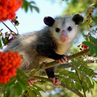 What Fruit Do Possums Eat?...and Why? – Possums Secondary Diet