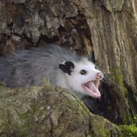 How Long Do Possums Live? – Possum Lifespan