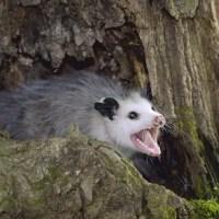 How Long Do Possums Live? – Possum Lifespan