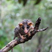 Do Possums Eat Ticks? - How Many Ticks do Possums Eat?