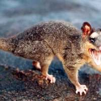 Do Possums Live in Groups? – Possums in Groups