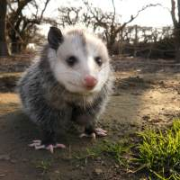North America's only Marsupial – Virginia Opossum