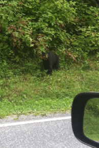 The bear on the side of the road heading up to Clingman''s Dome